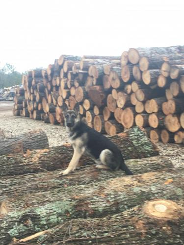 stacked logs guarded